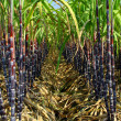 Plantation of sugarcane — Stock Photo