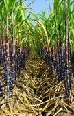 Piantagione di canna da zucchero — Foto Stock
