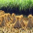 Rice sheaf after harvest on the field — Stock Photo #35097055