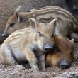 Sleeping wild piglets — Stock Photo