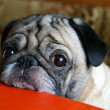 Pug with sad eyes — Stock Photo #35807099