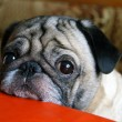 Stock Photo: Pug with sad eyes
