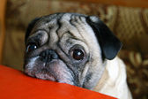 Pug with sad eyes — Stock Photo