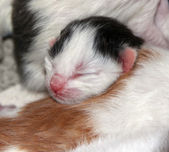 Wee blind newborn kitten — Stock Photo