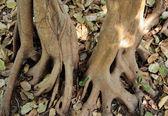 Roots of banyan tree — Stock Photo