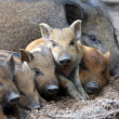 Wild piglets — Stock Photo