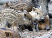 Wild piglets — Stock Photo