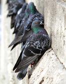 Güvercinler binaya yakın çekim duvar — Stok fotoğraf