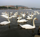A flock of swans on the Vltava River, Prague, Czech Republic — Stock fotografie