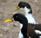 Two mottled ducks on a poultry yard — Stock Photo