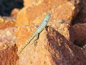 Mottled lizard sitting on rocks and basking in the sun — Stock Photo