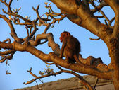 Monkey with bared teeth on a tree branch — Stock Photo