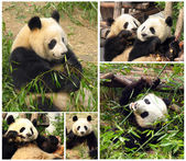 Collage of eating bamboo giant pandas — Stock Photo