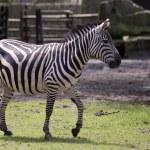 Zebra — Stock Photo #35157839