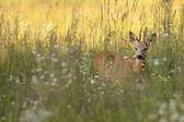 Roebuck in the wild — Stock Photo