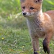 Foto Stock: Young fox in clearing