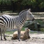Family of zebras — Stock Photo #37166285