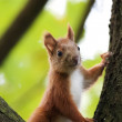 Red squirrel in the forest — Stock Photo