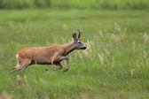 Buck deer on the run — Stock Photo