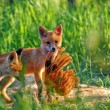 Stockfoto: Fox hunting in clearing