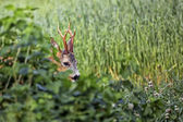 Buck deer in hiding — Stock Photo