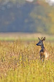 Buck deer in the clearing — Stock Photo
