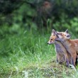 Foto de Stock  : Young foxes in clearing