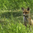 Foto de Stock  : Young fox in clearing