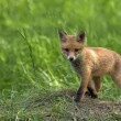 Young fox in clearing — Foto Stock #41600643