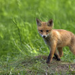 Young fox in clearing — Stok Fotoğraf #41600643