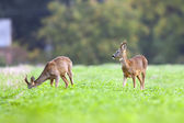 Two bucks deer in the wild — Stock Photo