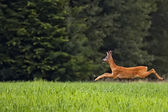 Buck deer on the run — Stock Photo