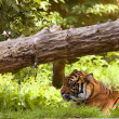 Stock Photo: Tiger resting in clearing