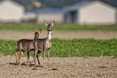 Roe-deer with young in a clearing — Stock Photo