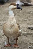 Goose on the farm — Stock Photo