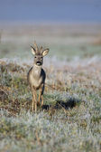 Buck deer in a clearing — Stock Photo