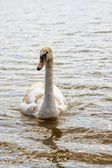 Swan floating on the lake — Stock Photo