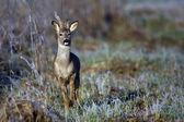 Buck deer in a frosty morning — Stock Photo
