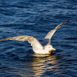 Herring gull — Stock Photo #34657455