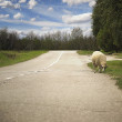 One sheep taking the road — Stock Photo