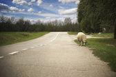 Jedna ovce silnici — Stock fotografie