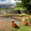 Chickens at Wasdale Head, Cumbria — Foto Stock