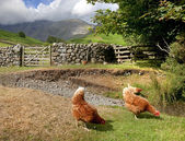 Chickens at Wasdale Head, Cumbria — Stock Photo