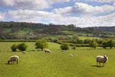 Angielski pastwisko z wypasu owiec — Zdjęcie stockowe
