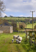 Sheep and lambs, Cotswolds — Stock Photo