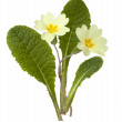 Primrose, Primula vulgaris — Stock Photo