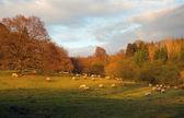 Sheep at sunset, England — Stock Photo