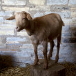 Brown goat — Stock Photo