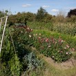 Allotments, England — Stock Photo