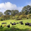 English rural scene with cows — Stock Photo